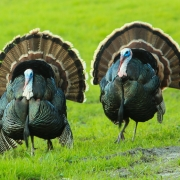 Turkey Talk: Energy Policy and Thanksgiving — Episode 91 of Local Energy Rules Podcast