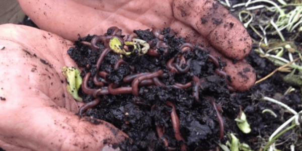 Upcoming Webinar: Composting with Worms on a Mid to Large-Scale — What, Why, How, and Who