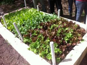 lettuce at EW Stokes